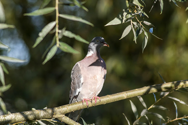 Adult Wood Pigeon hiding