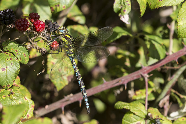 Southern Hawker almost lost in the Blackberries