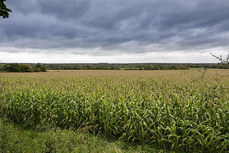 Fields of Maize