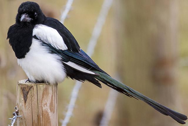 Magpie, full image