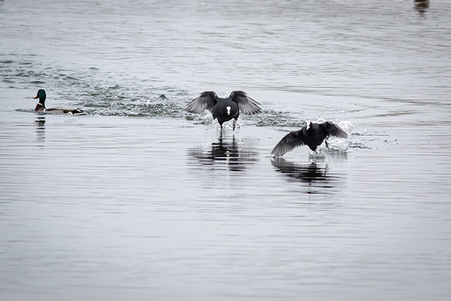 Coot Battle