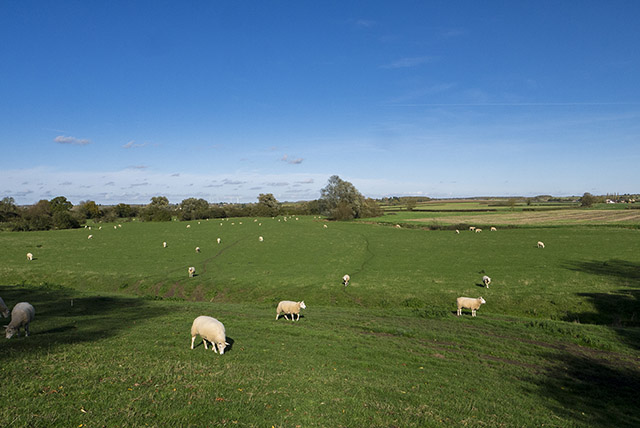 Sheep fields along the Grand Union Canal