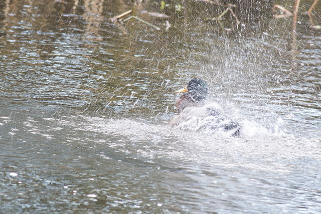 Mallard Splashing