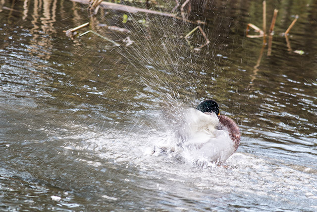 I tried a few slower shutter speeds to capture this action of a Mallard splashing