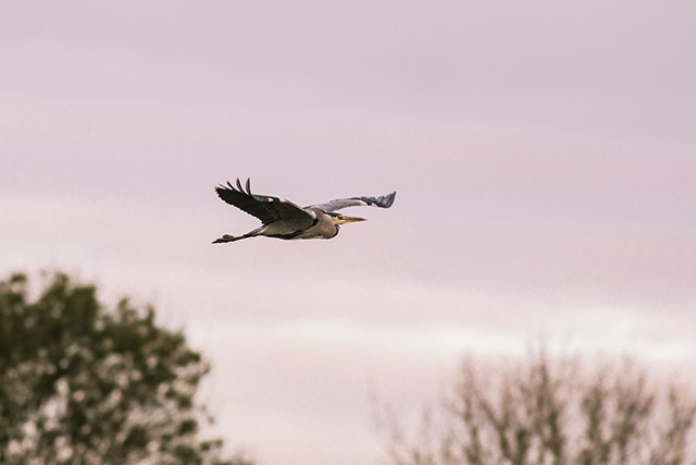 After a Week Off - grey heron in redish light