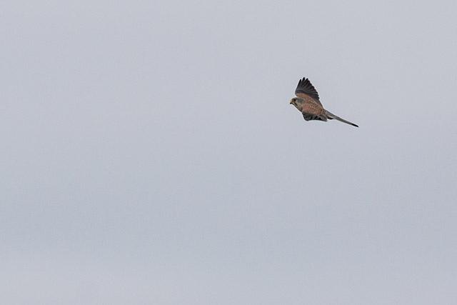Kestrel Swooping