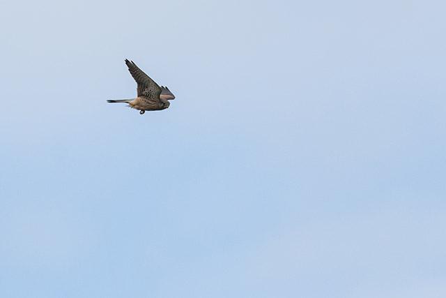 Kestrel Fly by