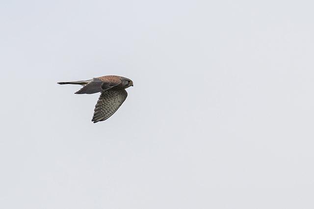 Rapid Flight of a Kestrel
