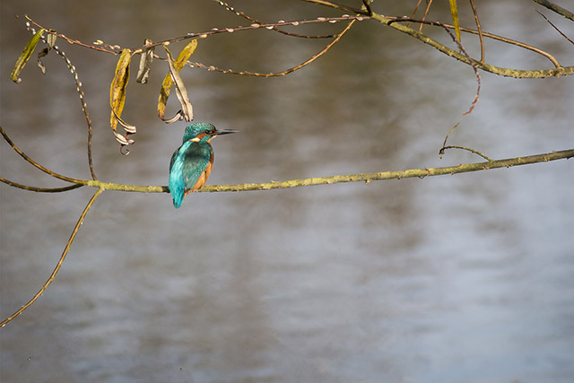 Male Kingfisher perched over the River Ouse in Milton Keynes