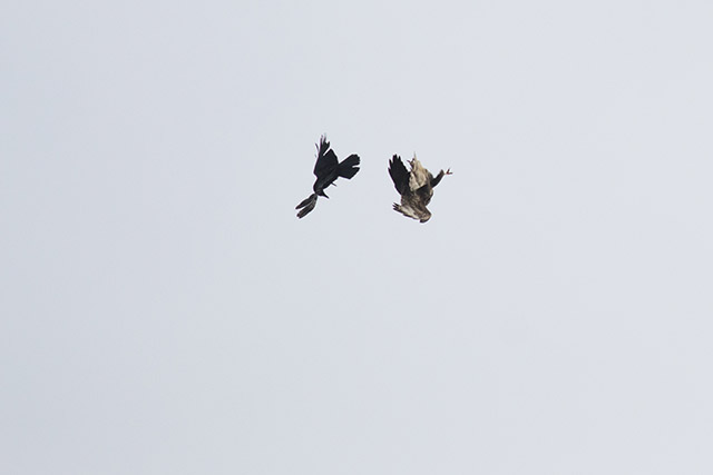 Buzzard and Crow tumbling Together