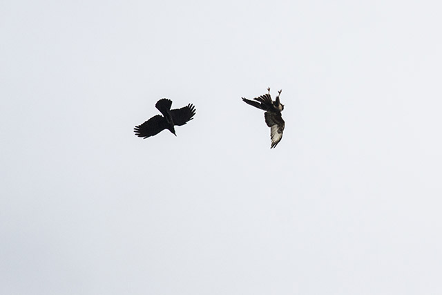 Flying Upside down or Falling? - Buzzard upside down with Carrion crow flying nearby