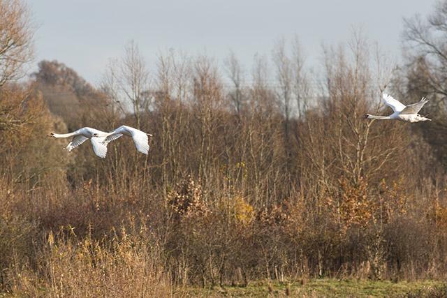3 Mute Swan in flight over the Floodplain Forest Nature Reserve in Milton Keynes