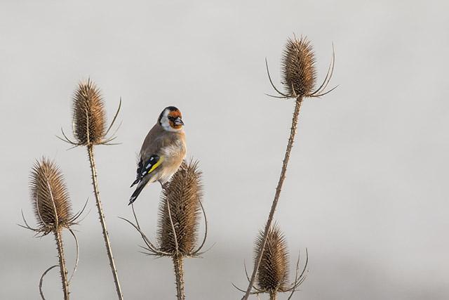 Goldfinch Feeding on Teasel Heads
