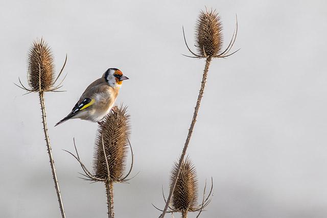 Goldfinch looking very golden