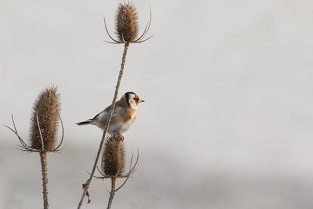 Goldfinch about to take to flight
