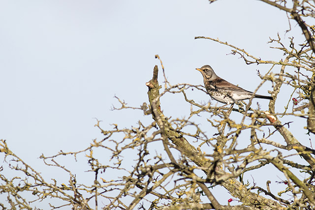 Fieldfare - Winter thrush at the top of some branches