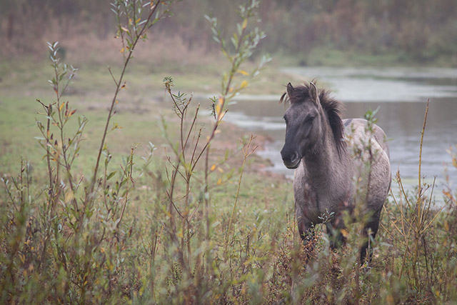 Konik Pony in the drizzle